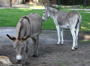 FILE - In this file photo from Aug. 11, 2010, two donkeys, Napoleon, left, and Antosia, stand near each others at a zoo in Poznan, Poland. The two were separated recently because of an outcry over their lovemaking, but have been reunited. The couple, together for 10 years, got into trouble when mothers expressed outrage that children had to witness their mating. (AP Photo/Joanna Piechorowska, File)