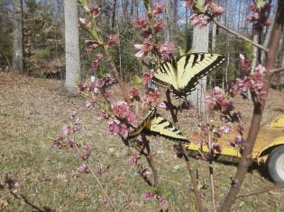 monarch on peach blossoms