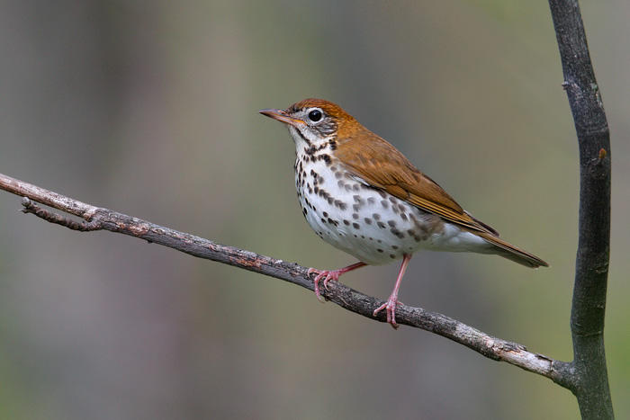 woodthrush