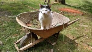 cat in a wheelbarrow